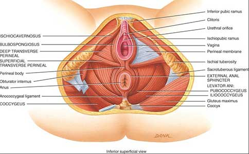 what muscles pelvic floor